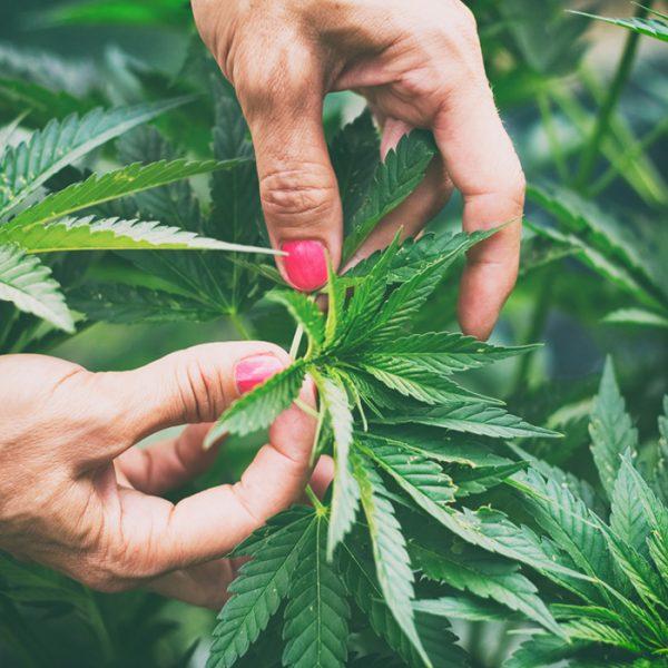 Daily Cannabis